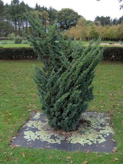 Juniperus chinensis 'Blaauw'.JPG