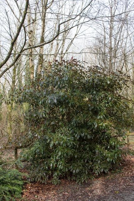 Trochodendronsmall